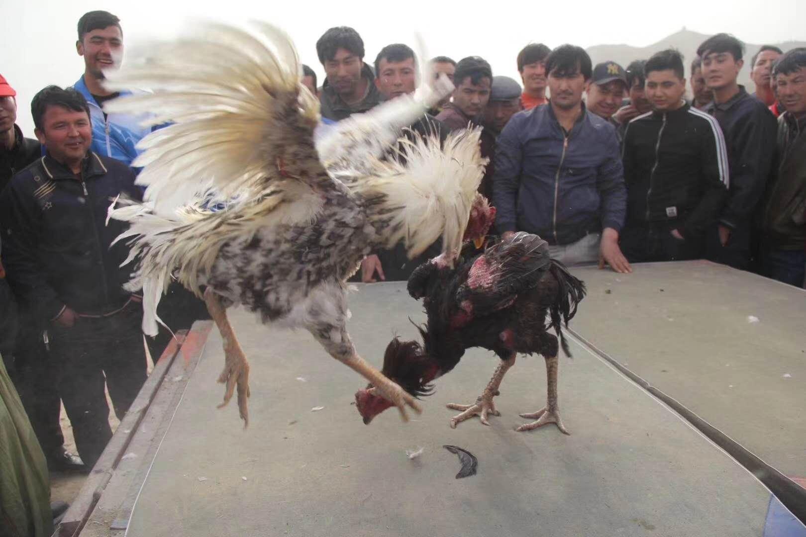 斗鸡v极限极限s泰剧排球图片